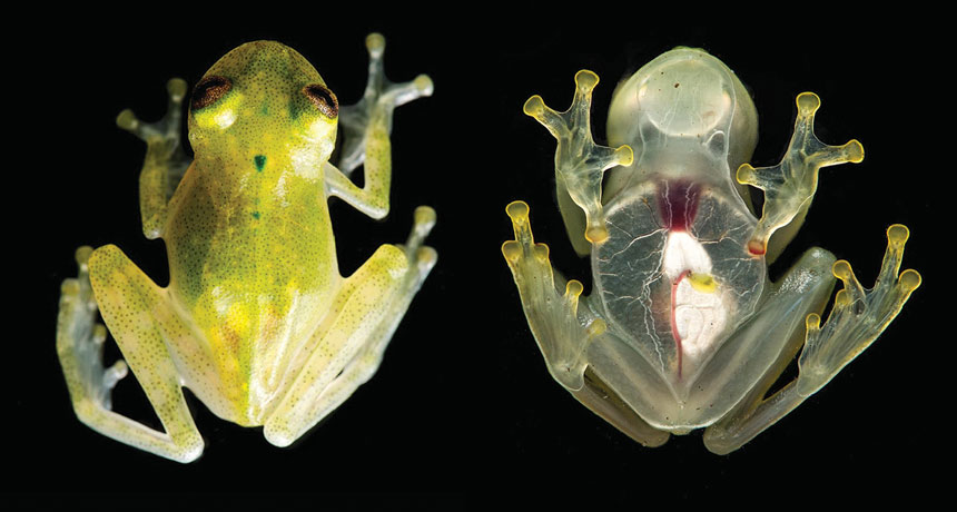 Hyalinobatrachium yaku glass frog