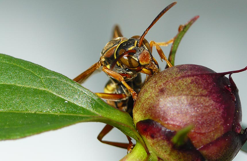 Facial recognition changes a wasp's brain | Science News