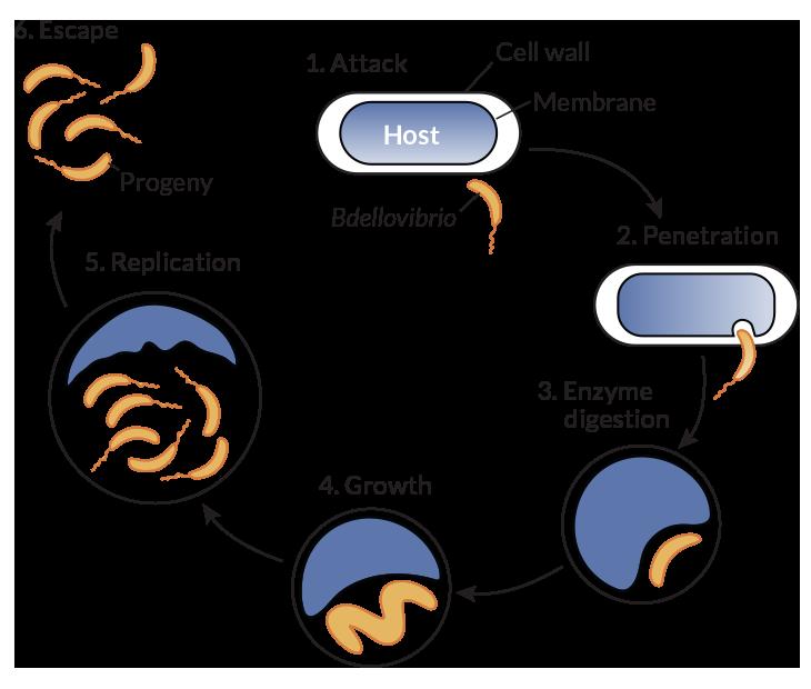 Bdellovibrio bacterium