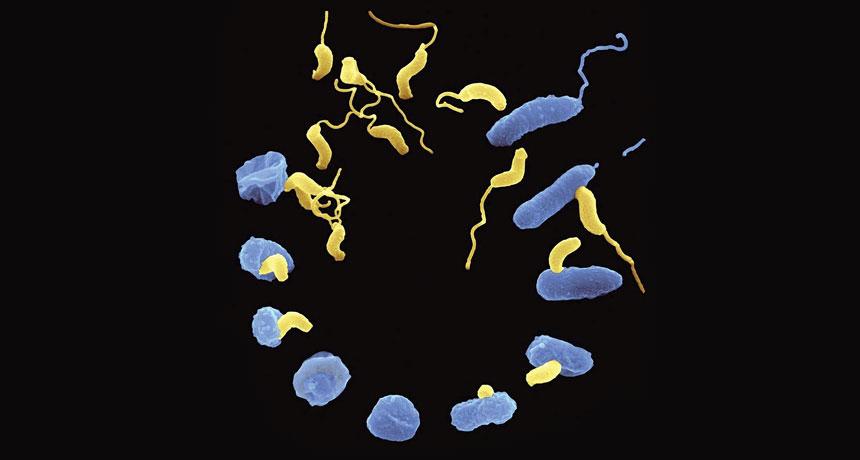 Bdellovibrio bacteria