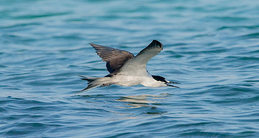 sooty tern flying over open water