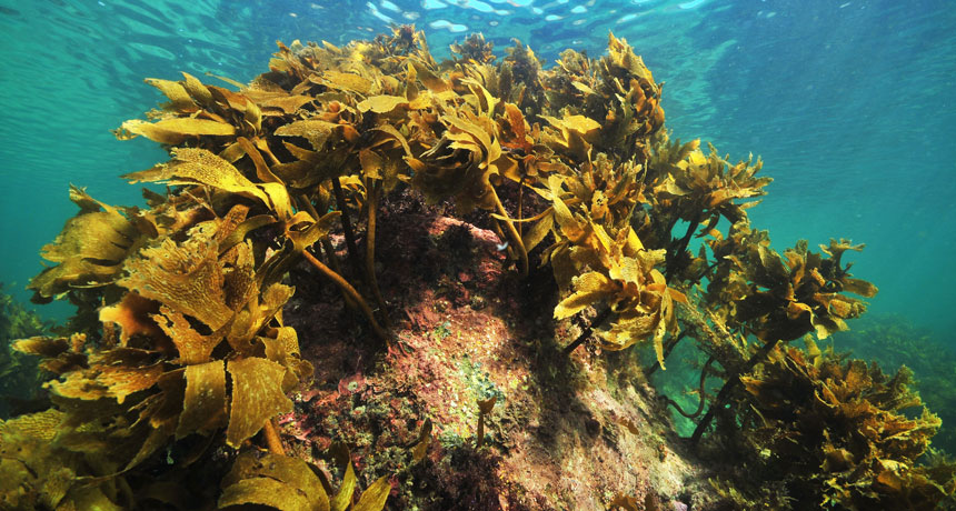 kelp bed