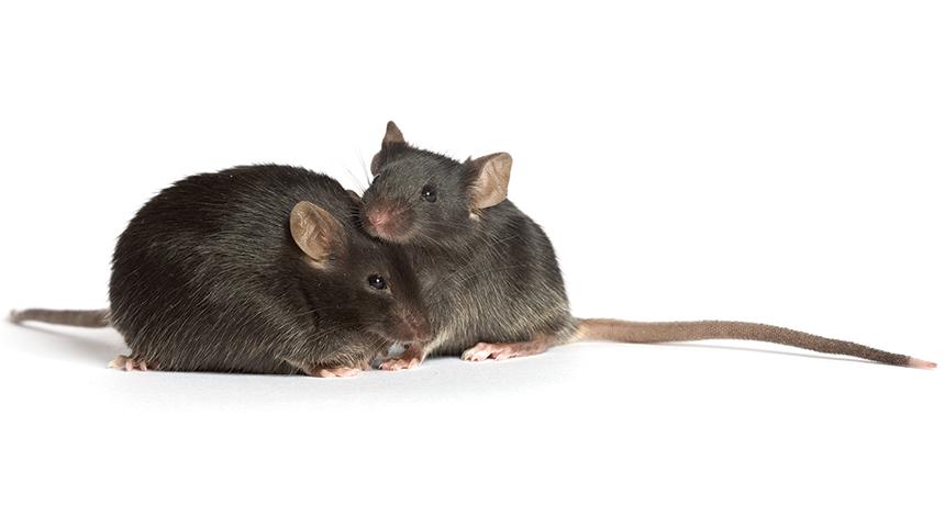 diabetic mice