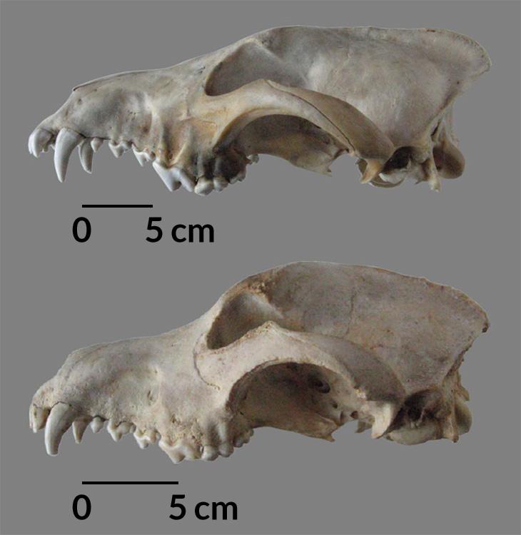 dog vs wolf skulls