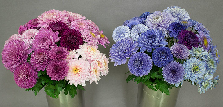pink and magenta chrysanthemums, and blue and purple crhysanthemums