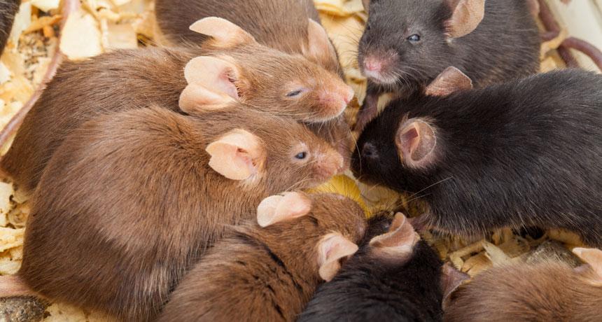 autistic mice