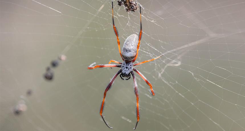 Nephila edulis spider