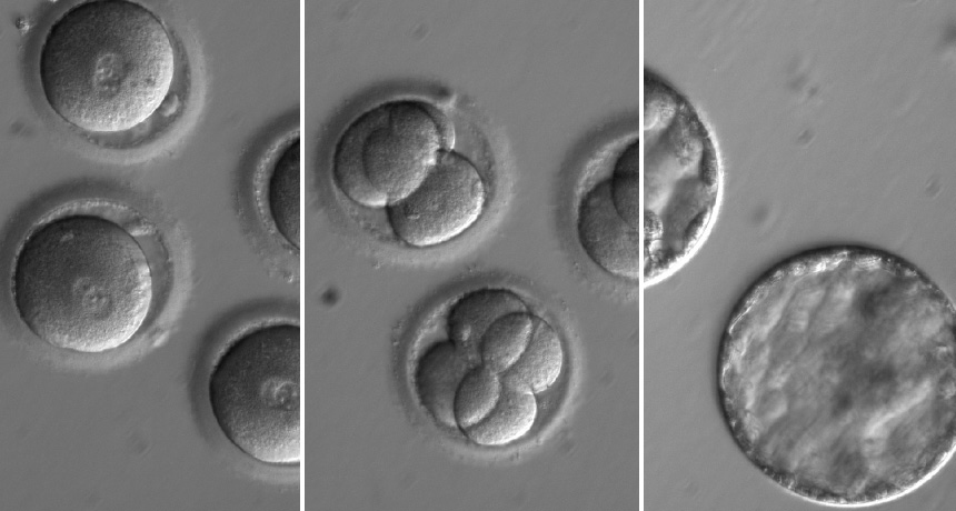 fertilized human eggs and embryos