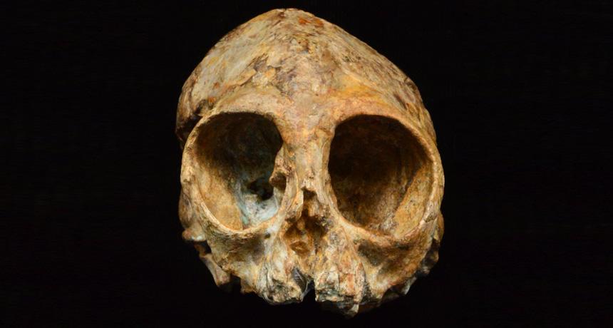 infant ape skull