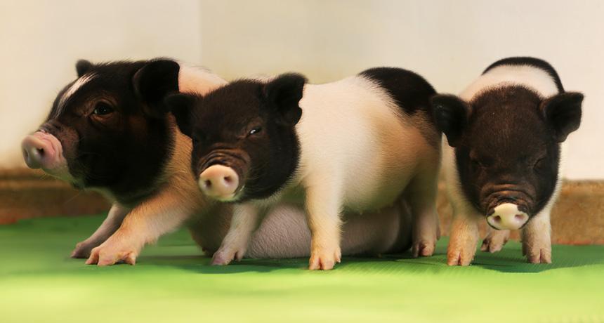 piglets lacking PERVs