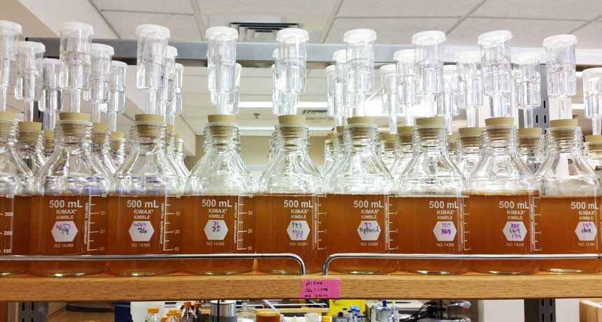 flasks of yeast