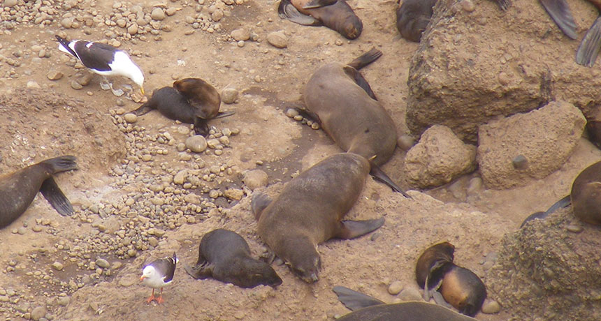 kelp gulls and fur seal pups