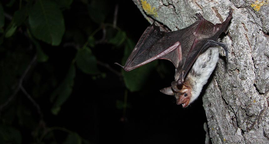 Myotis myotis bat