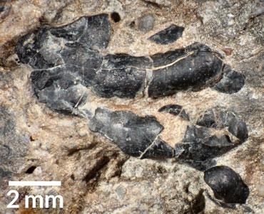 a crustacean in a dinosaur coprolite