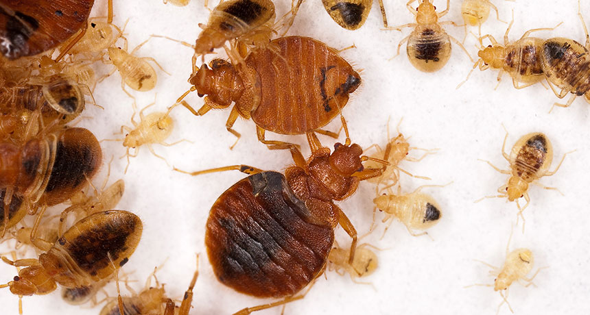 common bedbugs