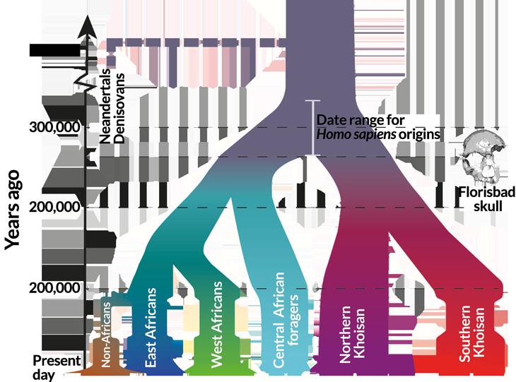 Diagram of emergence of Homo Sapiens
