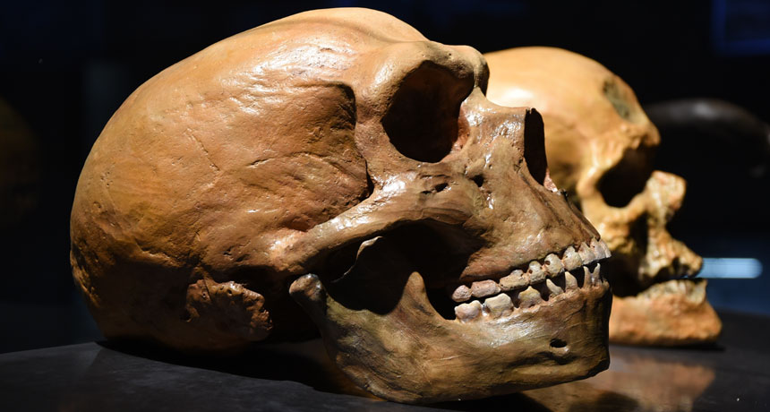 Neandertal skull and human skull