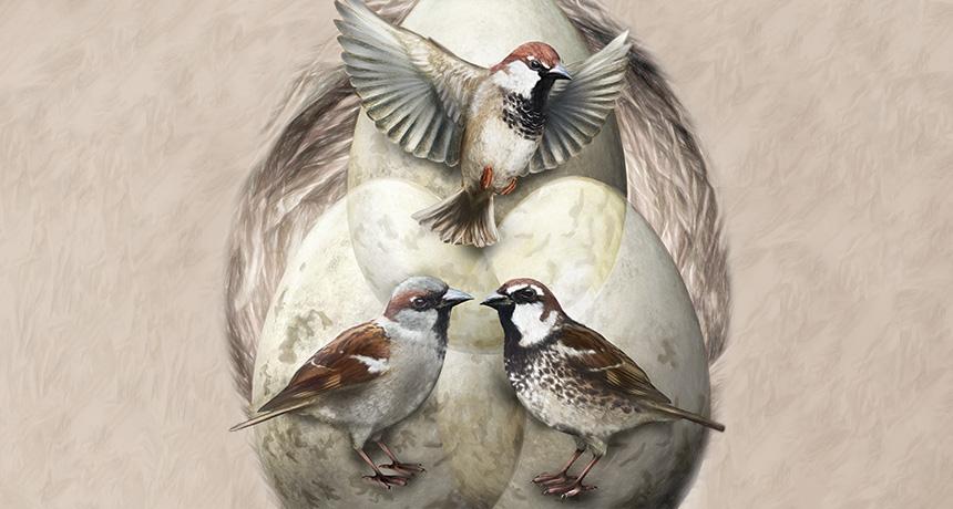 Italian sparrows
