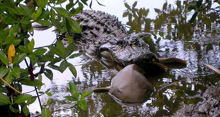 alligator eating a shark in 2003