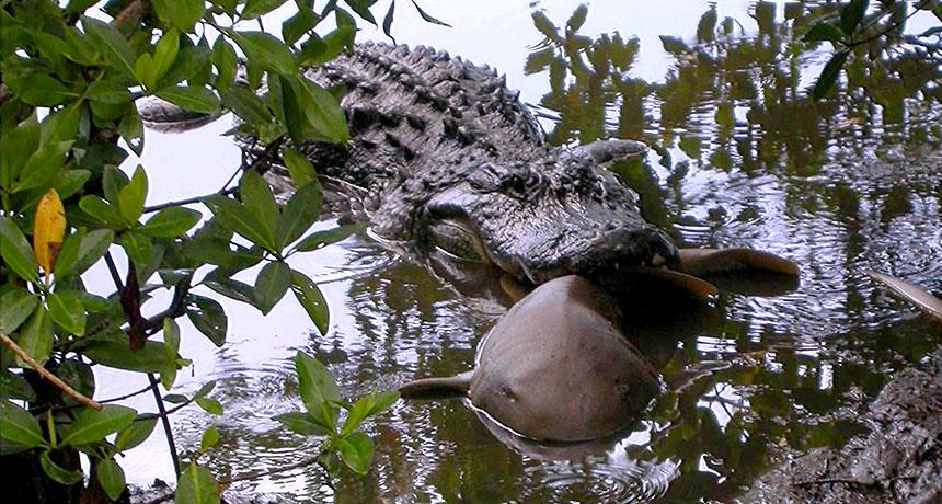 alligator eating a shark in 2003