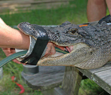 getting a gator's stomach contents
