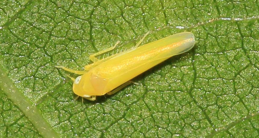 Alnetoidia alneti