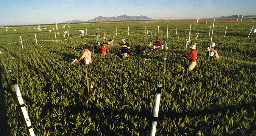 researchers measuring wheat