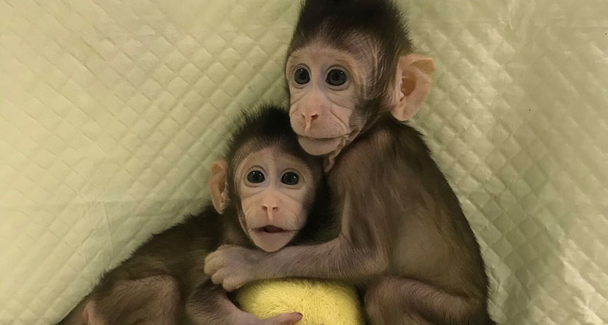genetically identical cloned monkeys