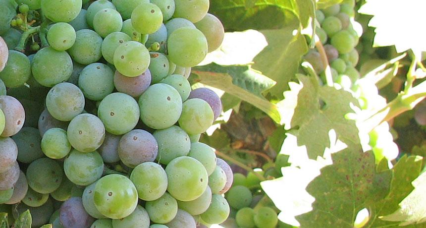 Zinfandel grapevine