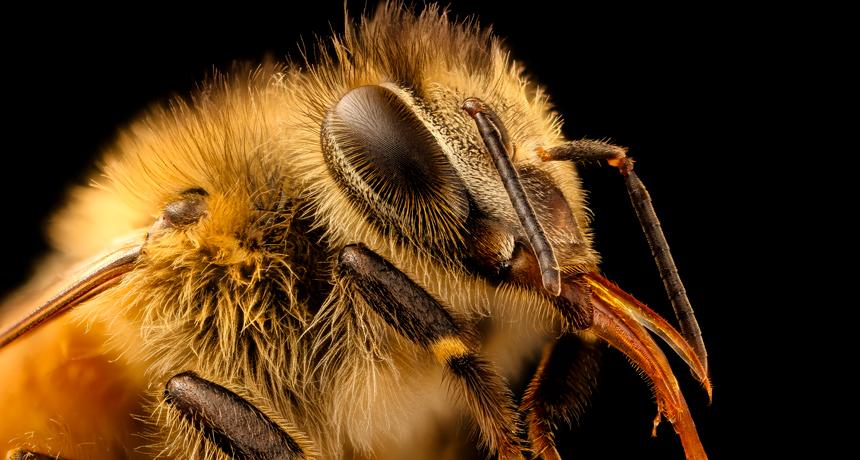 worker honeybee