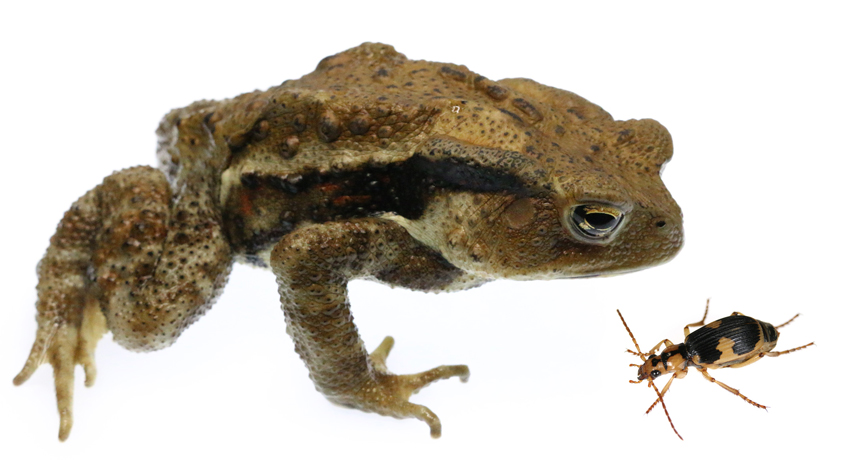 toad and bombardier beetle
