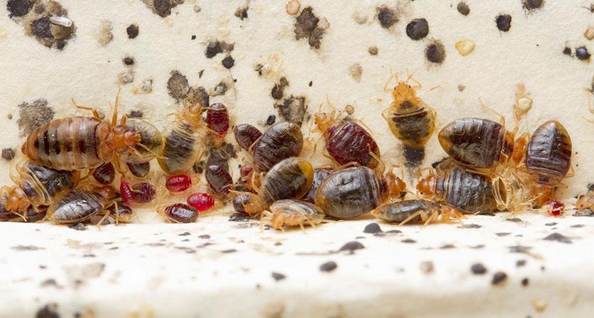 Bedbugs (Cimex lectularius)