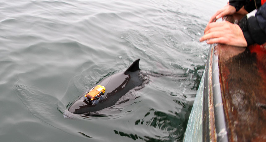 porpoise with tracker attached