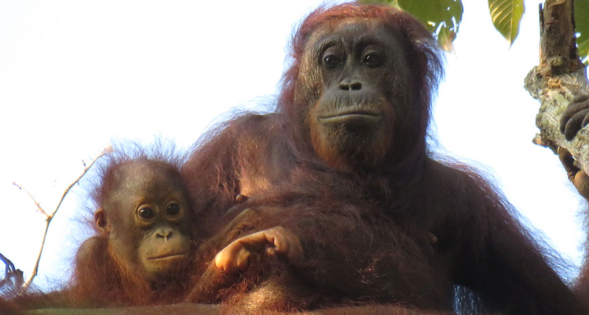 orangutan mom and baby
