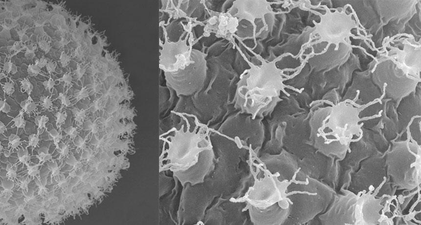 tardigrade egg