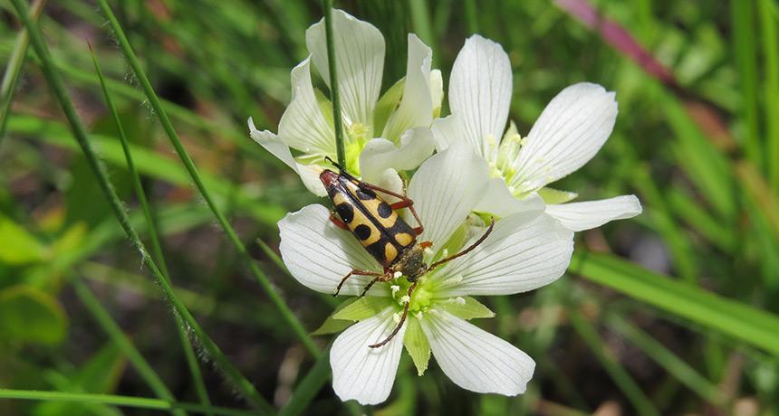 notch-tipped flower longhorn beetle