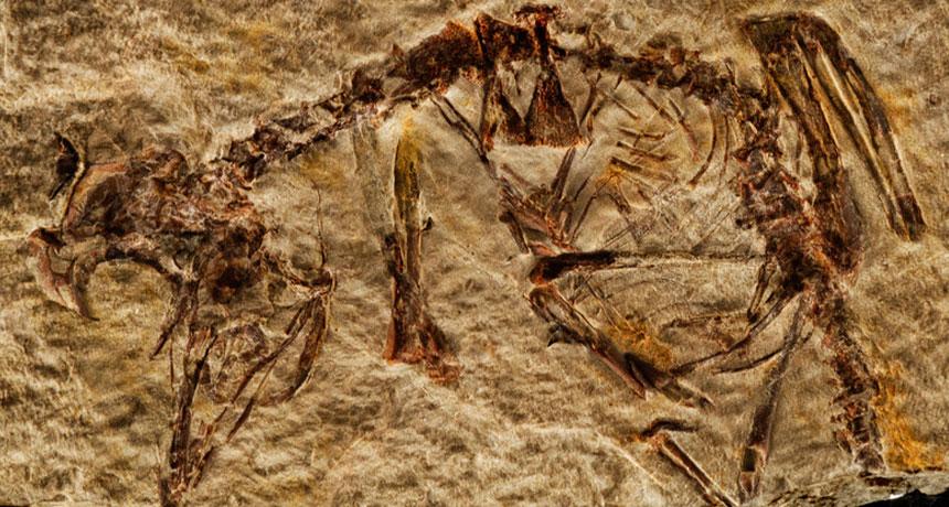 fossil of extinct bird called Enantiornithes