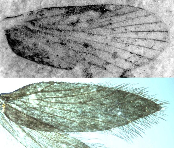 fossilized mothlike wing