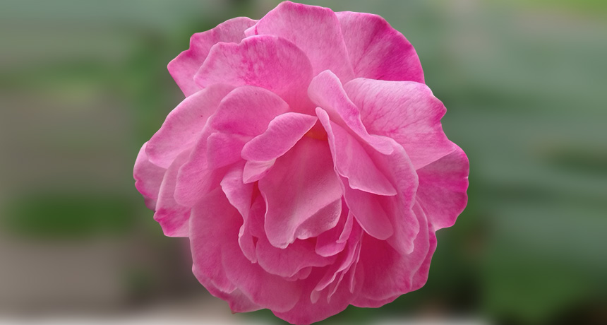 heirloom rose called Old Blush