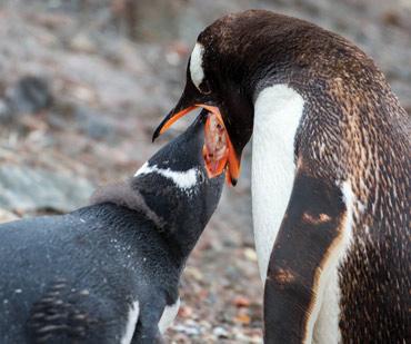 Gentoo penguin in Antarctica feeding its young