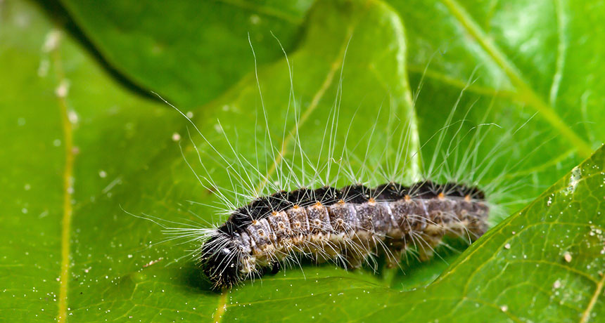 Oak processionary caterpillar