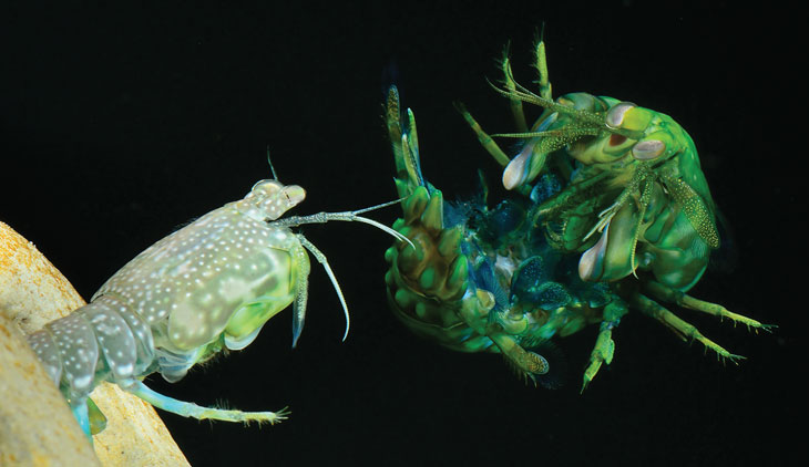 Caribbean rock mantis shrimp