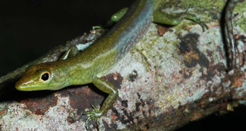 green blooded lizard