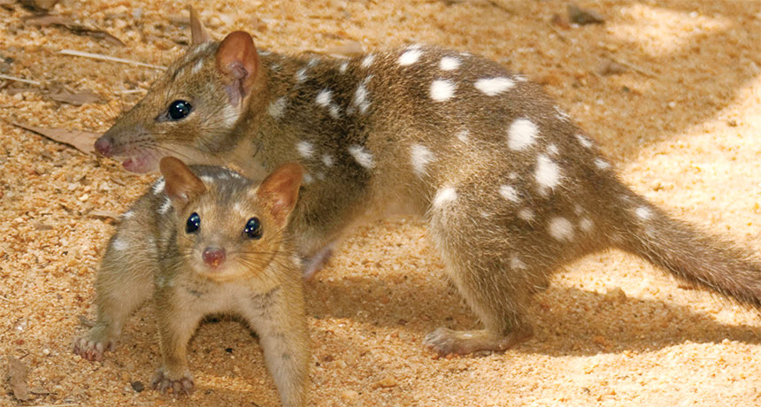 two northern quolls