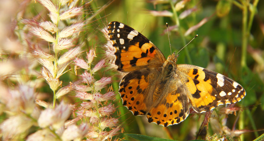 a painted lady butterfly (Vanessa cardui) resting on vegetation