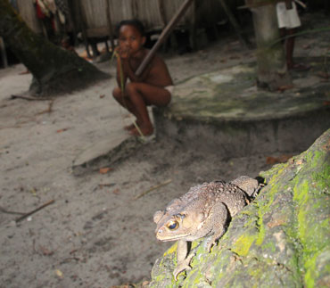 Asian common toad in Madagascar village