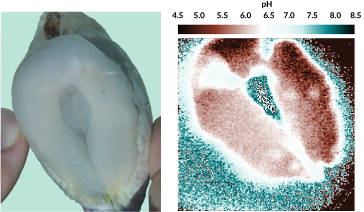 an acidity map of a giant clam's boring organ