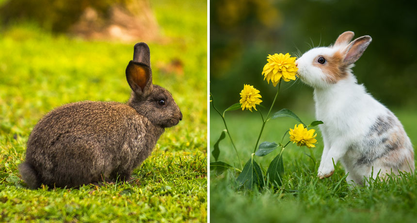 wild and domesticated rabbits