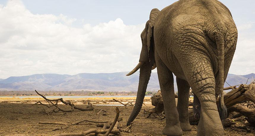 an African bull elephant