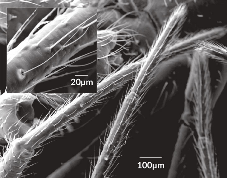 a scanning electron microscope image of the fine hairs on a spider leg